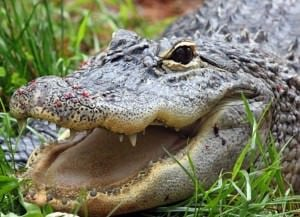 Crime Control: Focus on the Alligator, Not the Deer