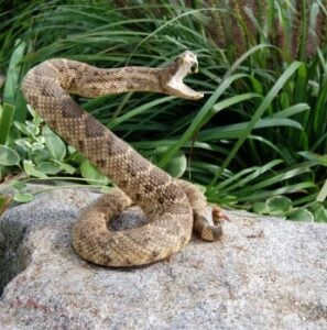Rattlesnakes and Cobras