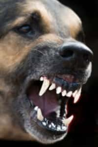 Signs of Dog Aggression and Dangerous Dogs
