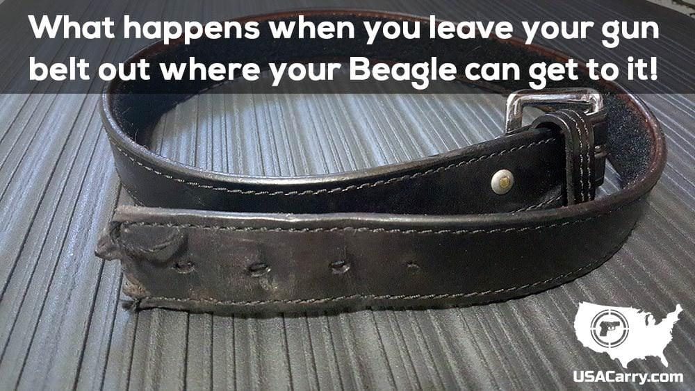 Beagle at My Gun Belt