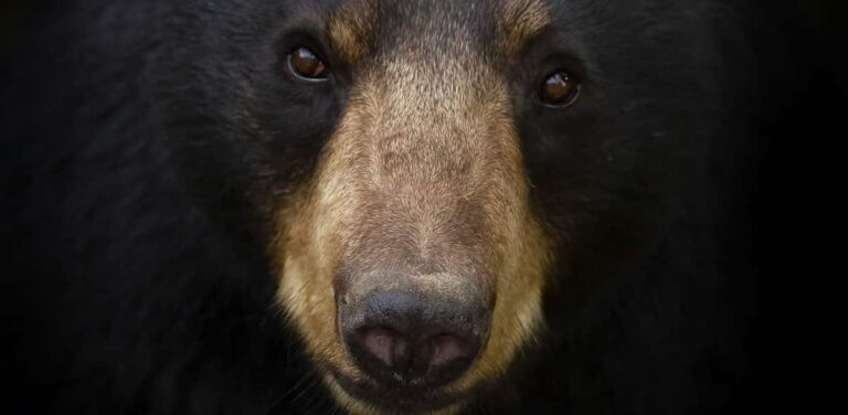 Man is Charged After Defending Himself and His Wife Against a Black Bear