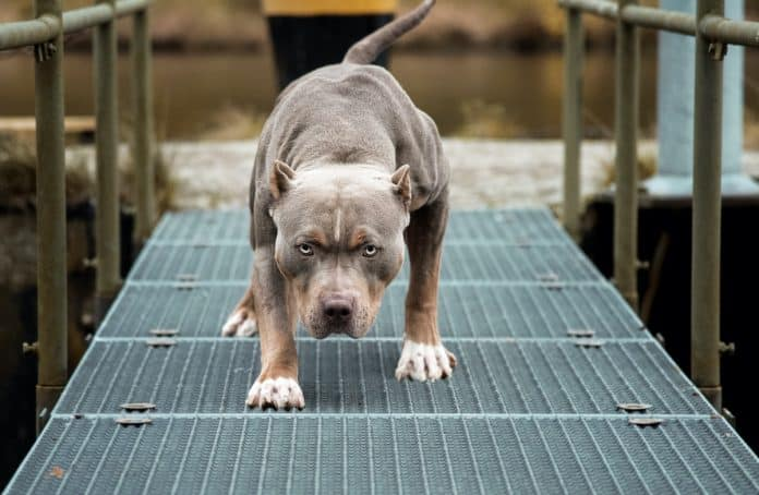 Concealed Carrier Shoots Pit Bull Attacking His Shepard, No Charges Will Be Filed
