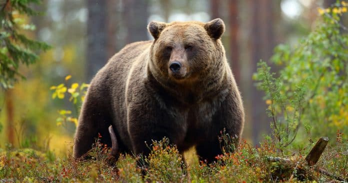 """""""Surprised"""" Hunters Forced To Shoot Grizzly Bear During Attack"""